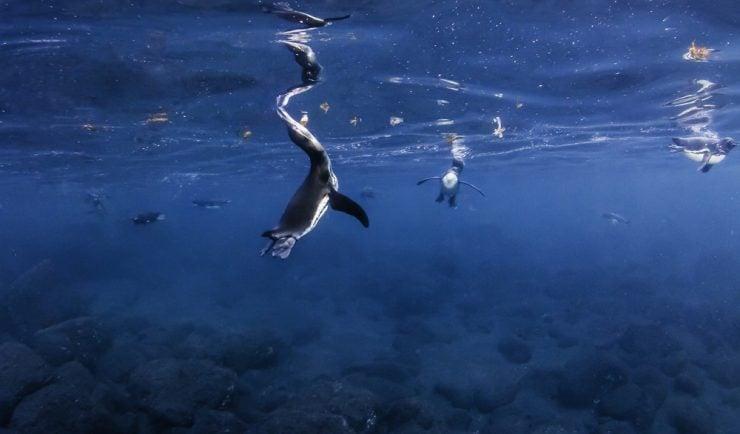 Galapagos penguins feeding at the surface