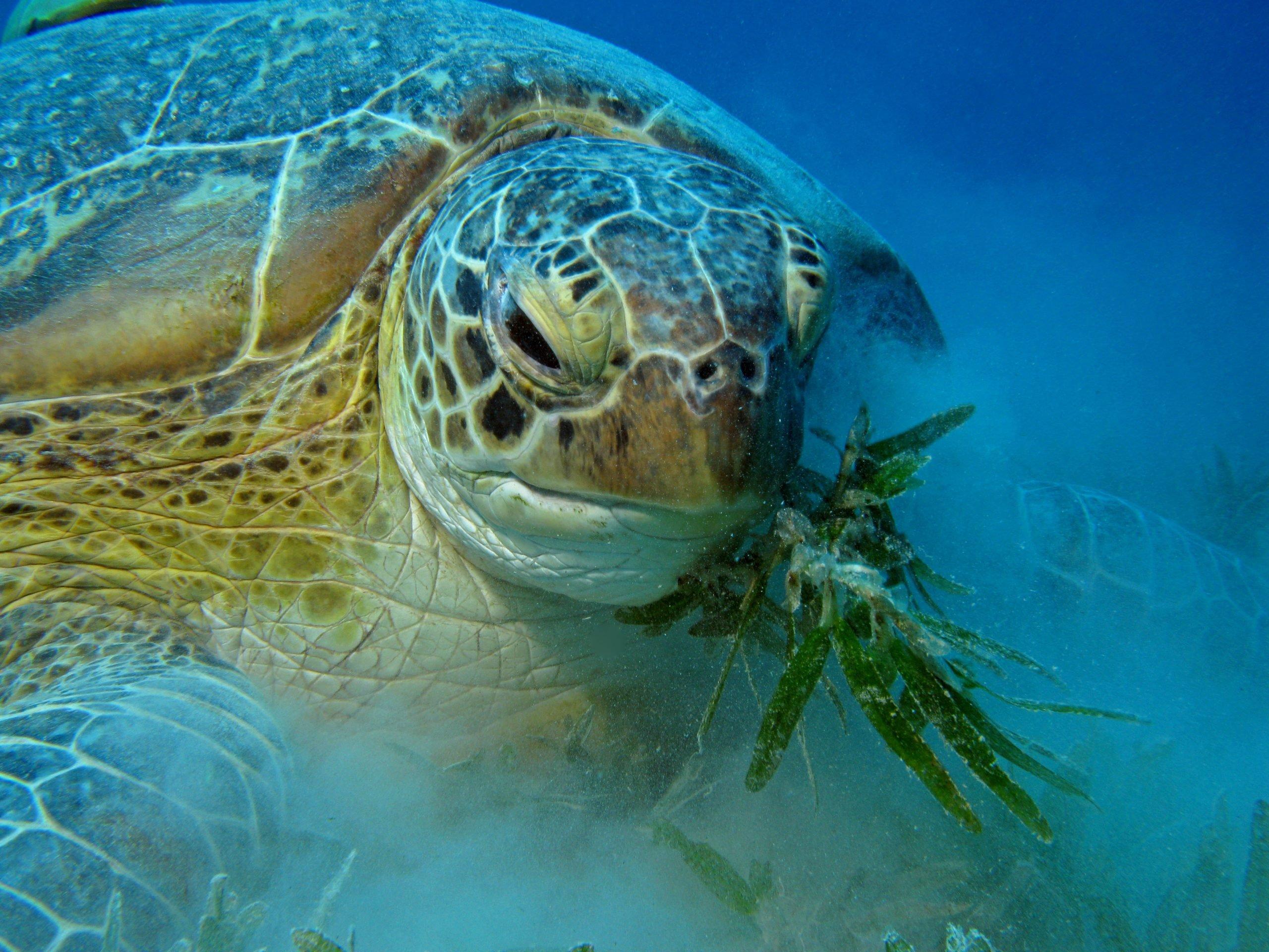adult green turtles enjoy seagrass