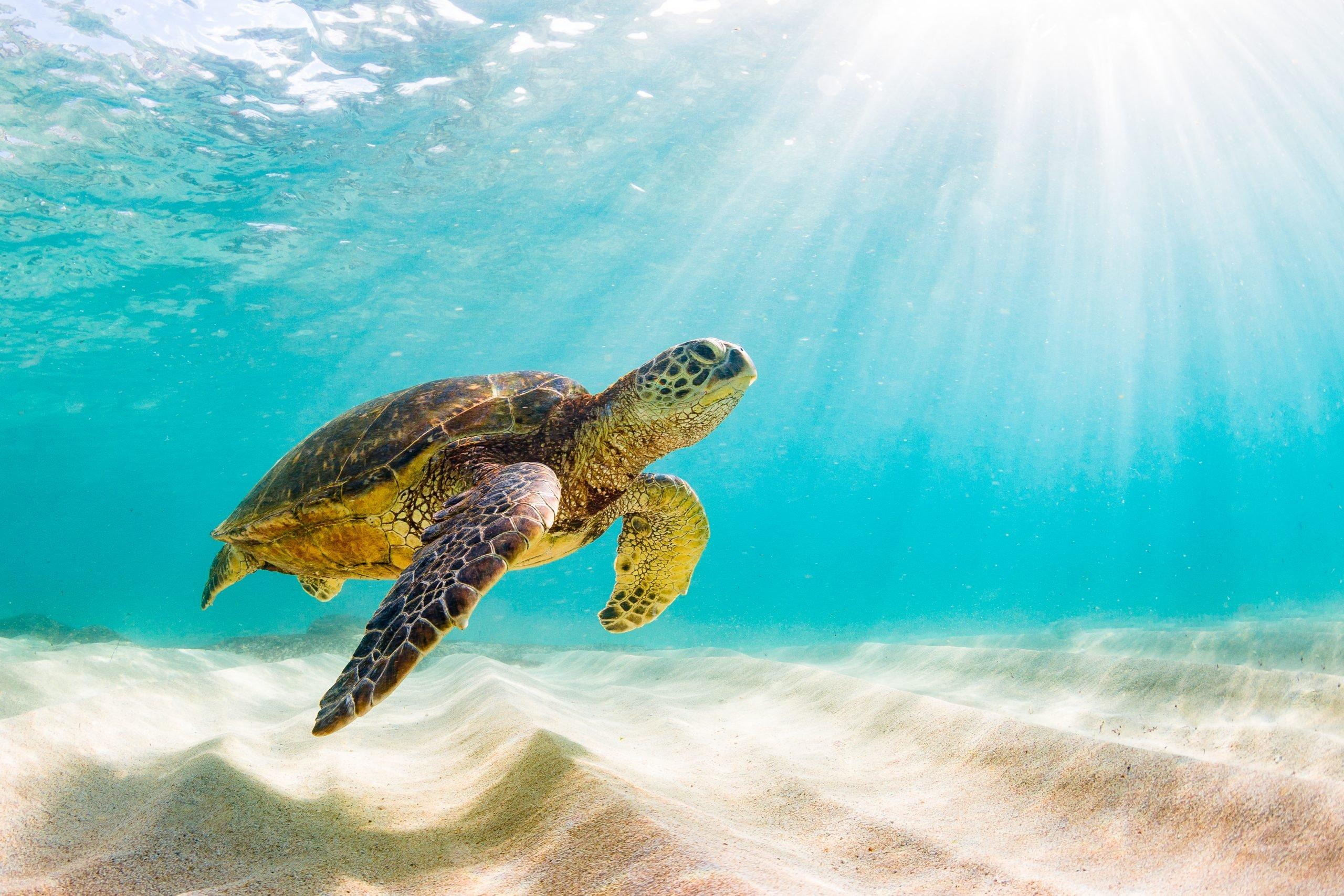 adult green turtles underwater