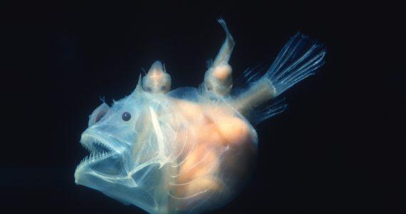 anglerfish diet