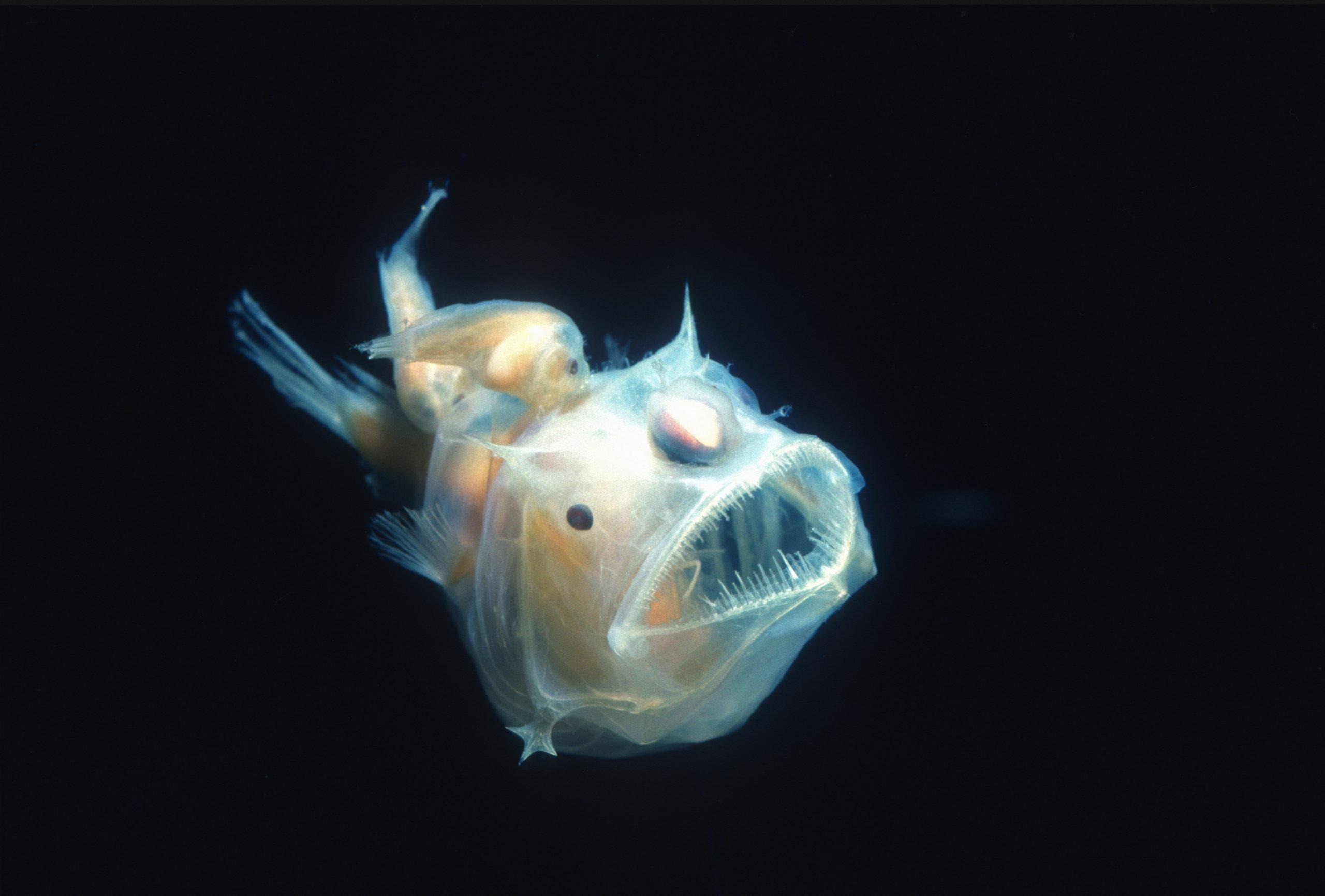anglerfish eating