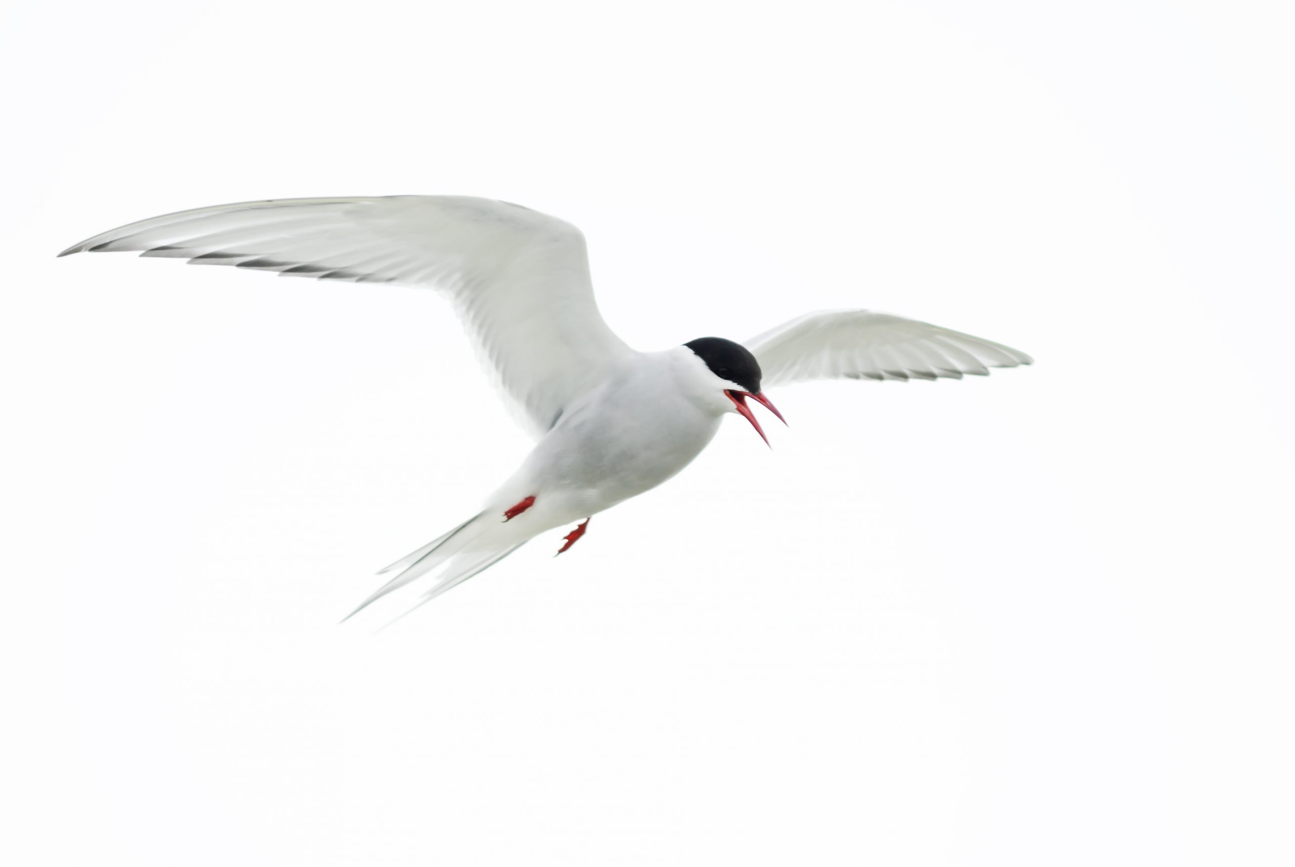 arctic tern physical traits
