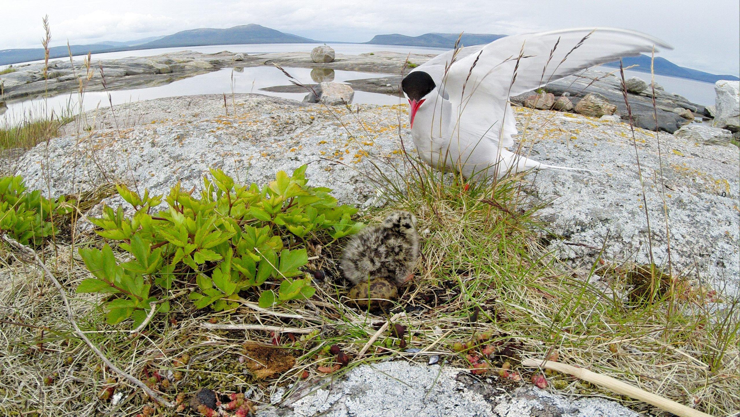 arctic tern on the coast