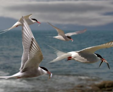 Arctic Terns returning to their mates with food for their chicks