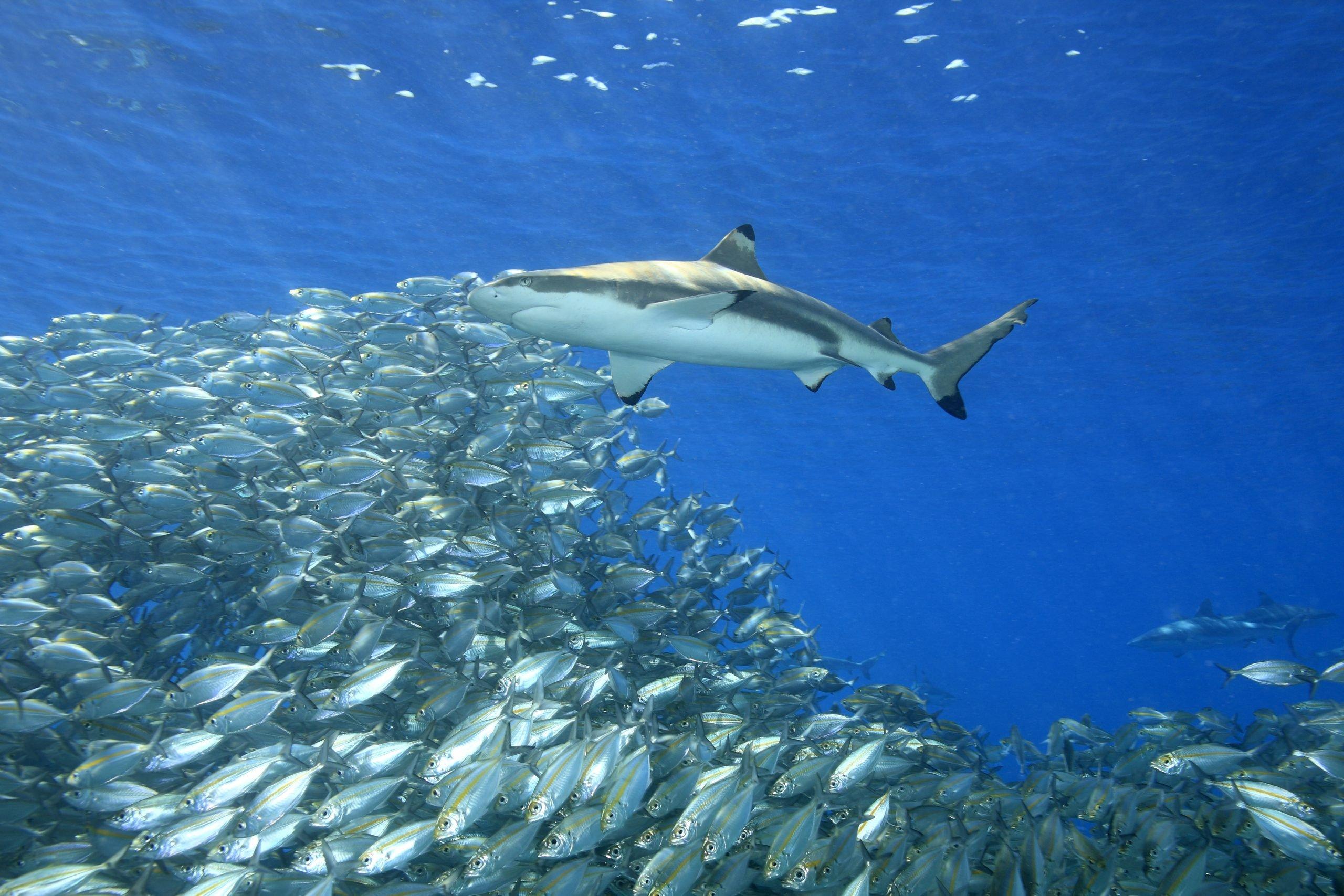 blacktip shark feeding school of fish
