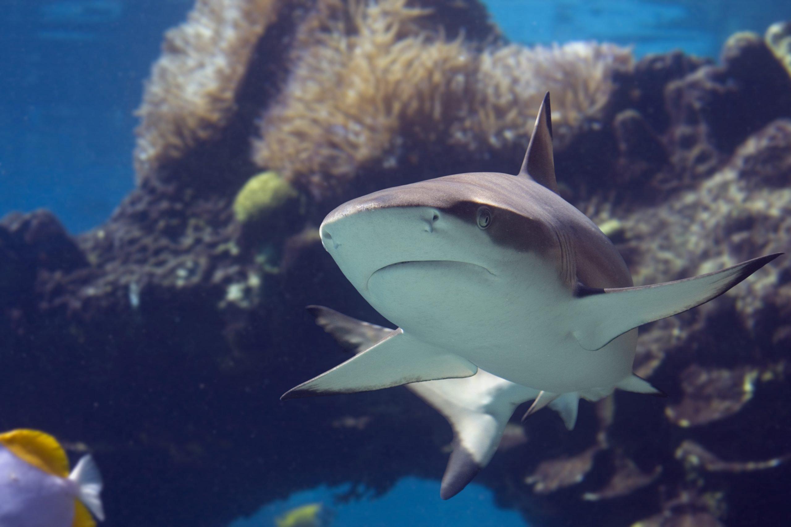 blacktip shark swimming