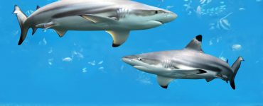 blacktip sharks eat