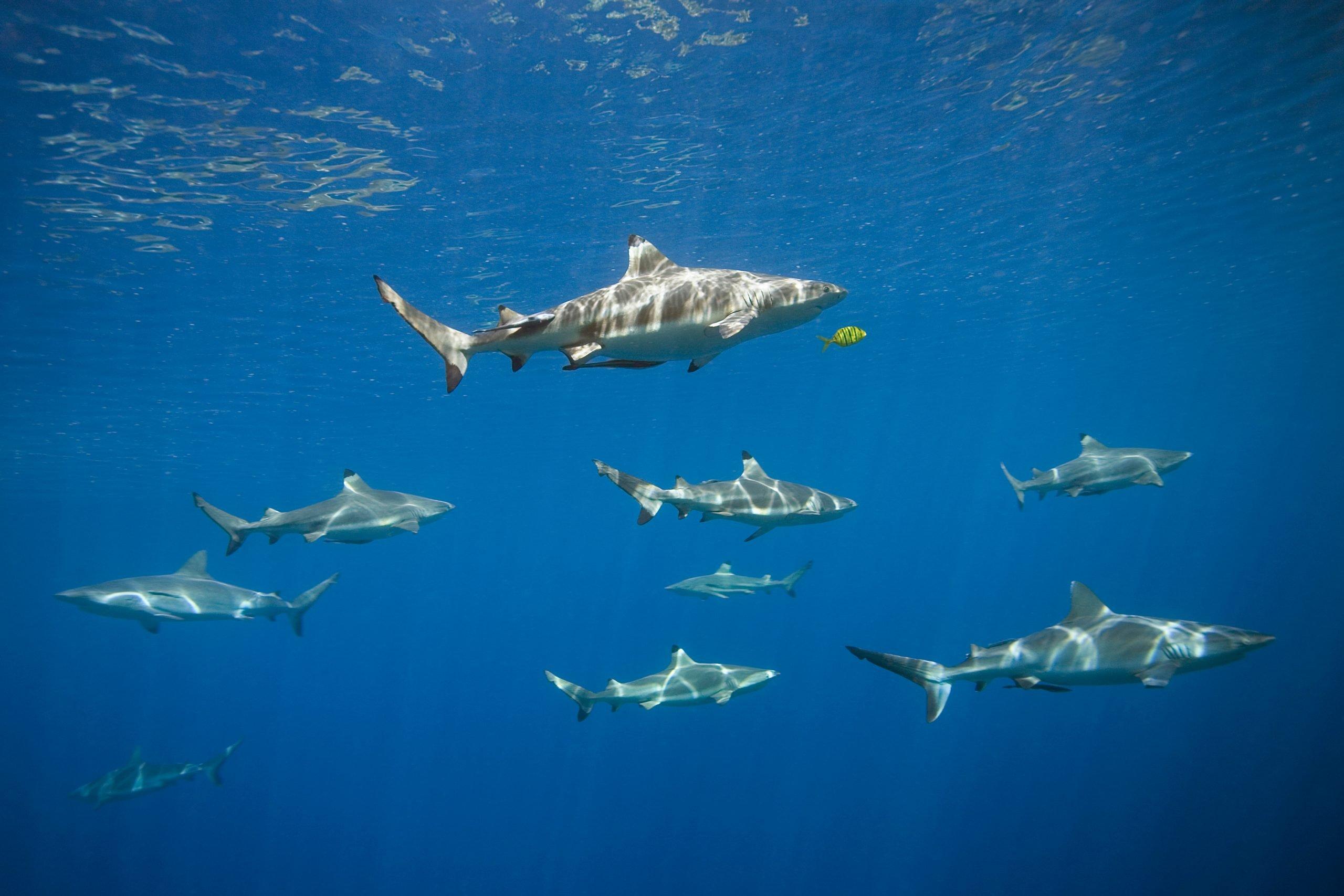 blacktip sharks swimming in a school