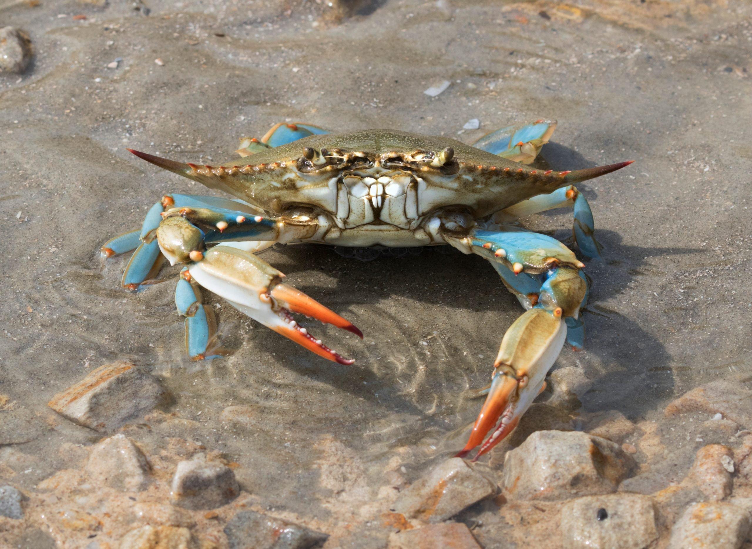 blue crab on the beach