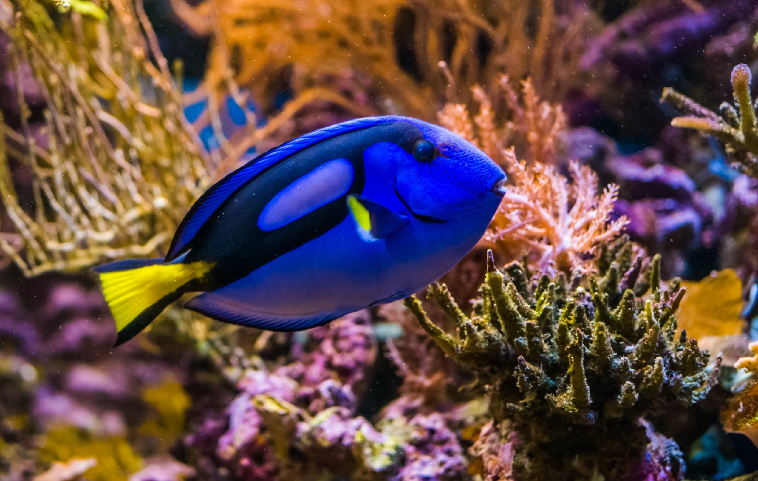 blue tang swimming