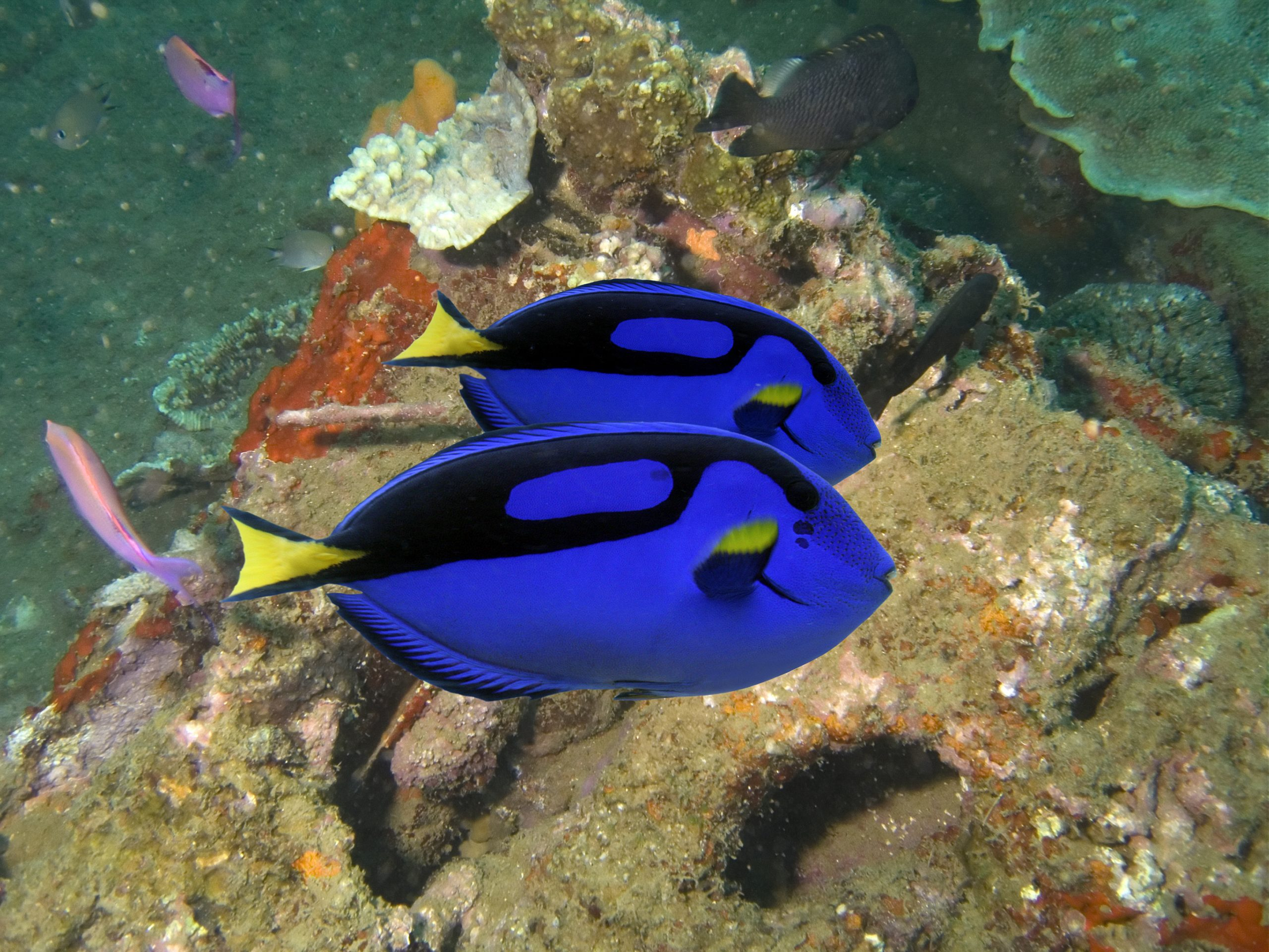 what do blue tang eat