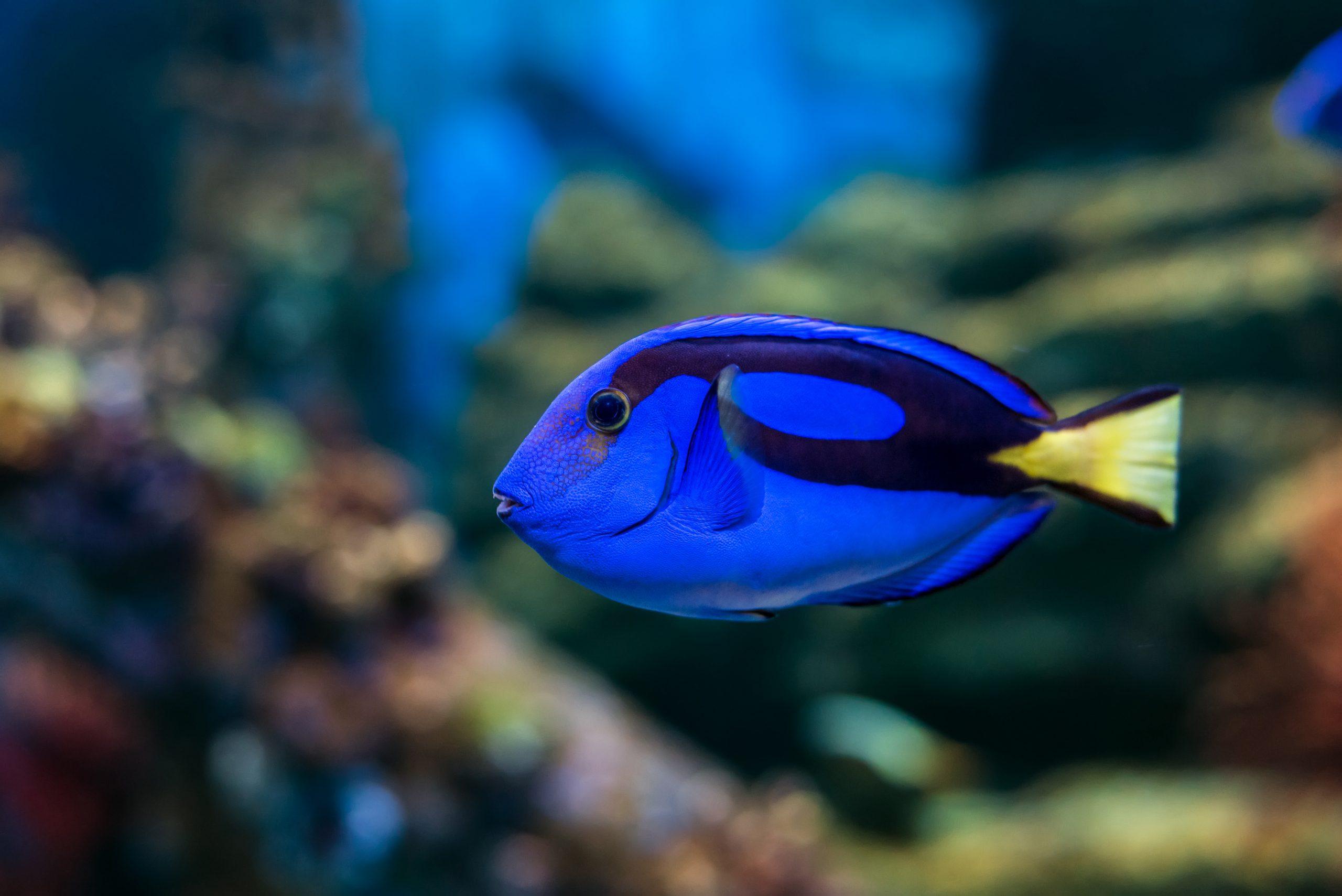 blue tang eating in the ocean