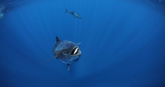 bluefin tuna eating a sardine