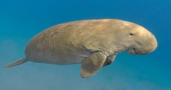 dugong eating