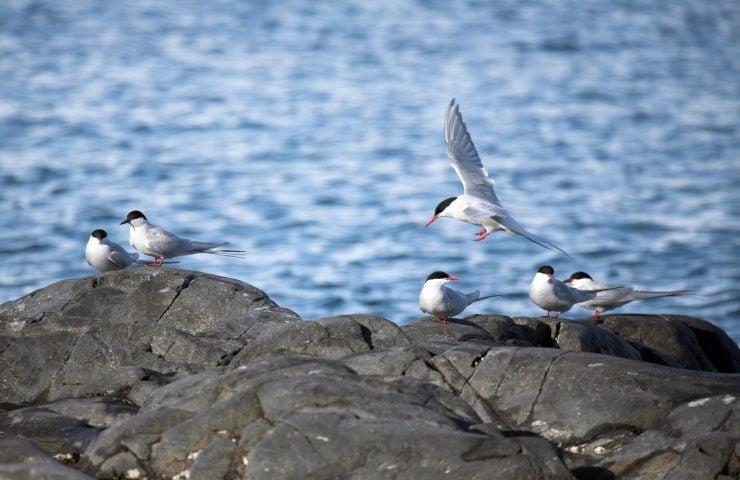 arctic terns on rock