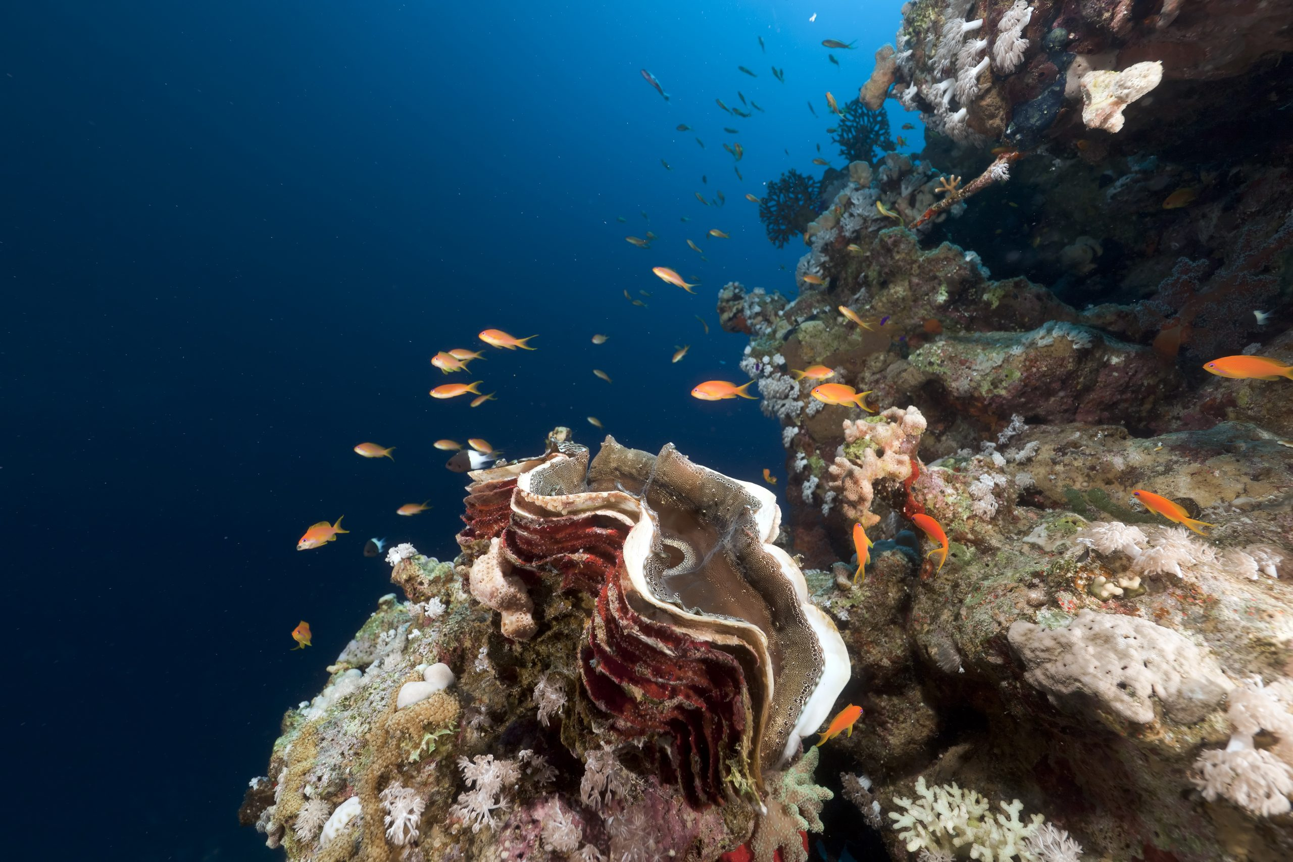 giant clam diet
