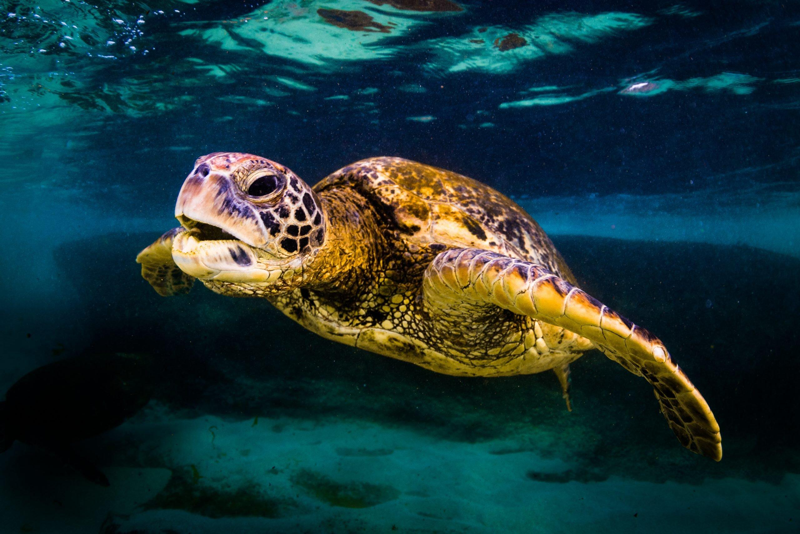 green sea turtle chelonia