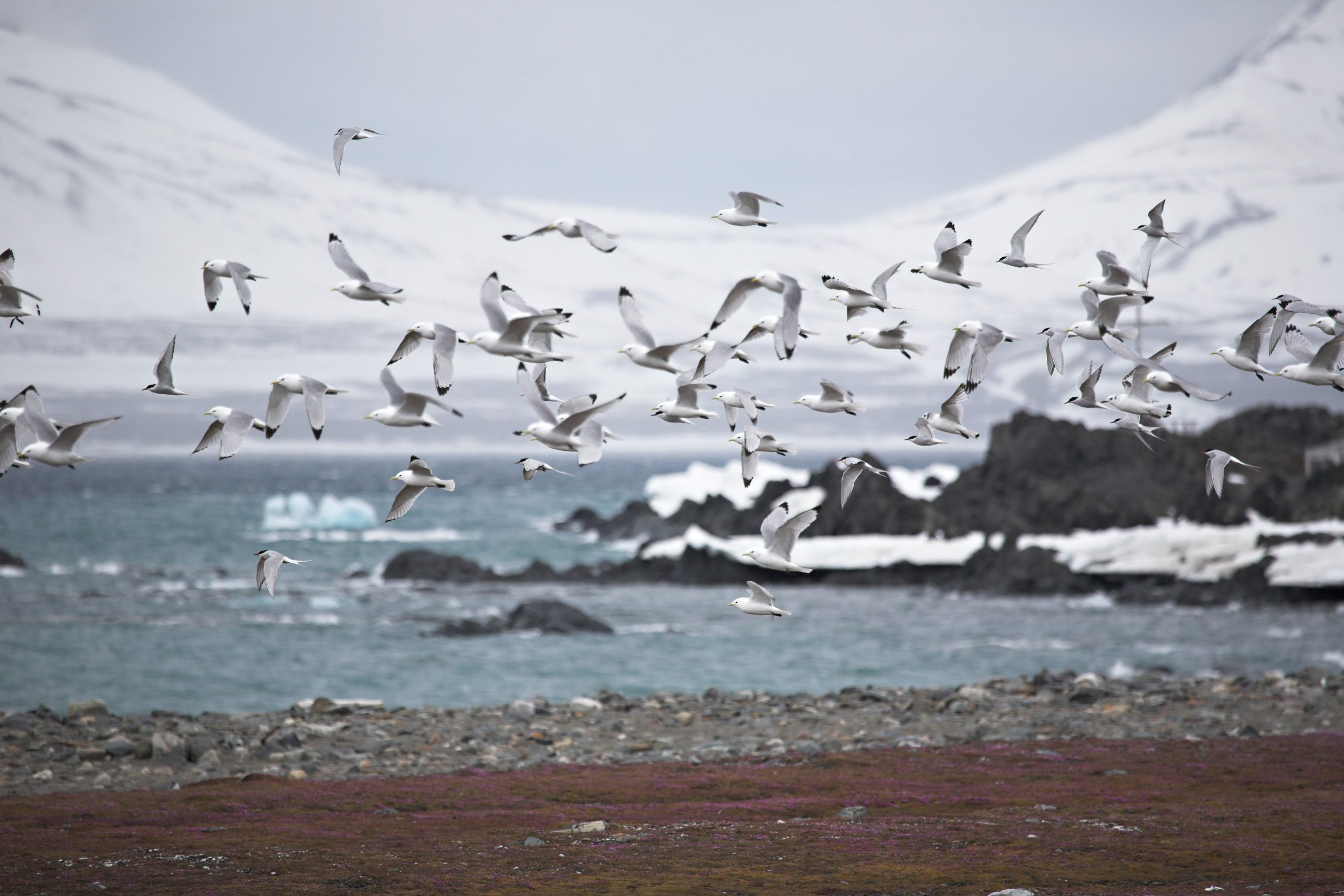 group of arctic terns