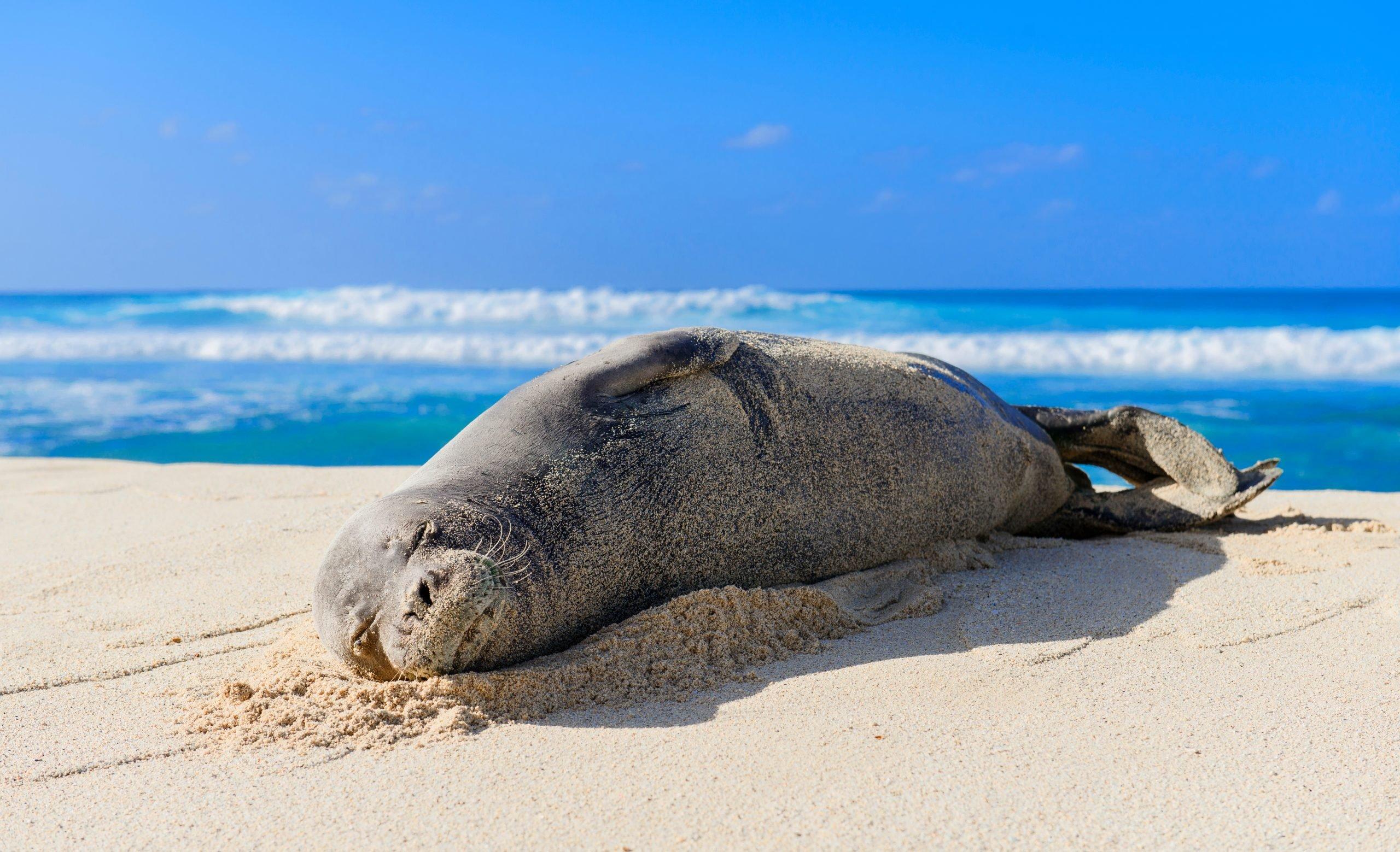 hawaiian monk seal on a beach