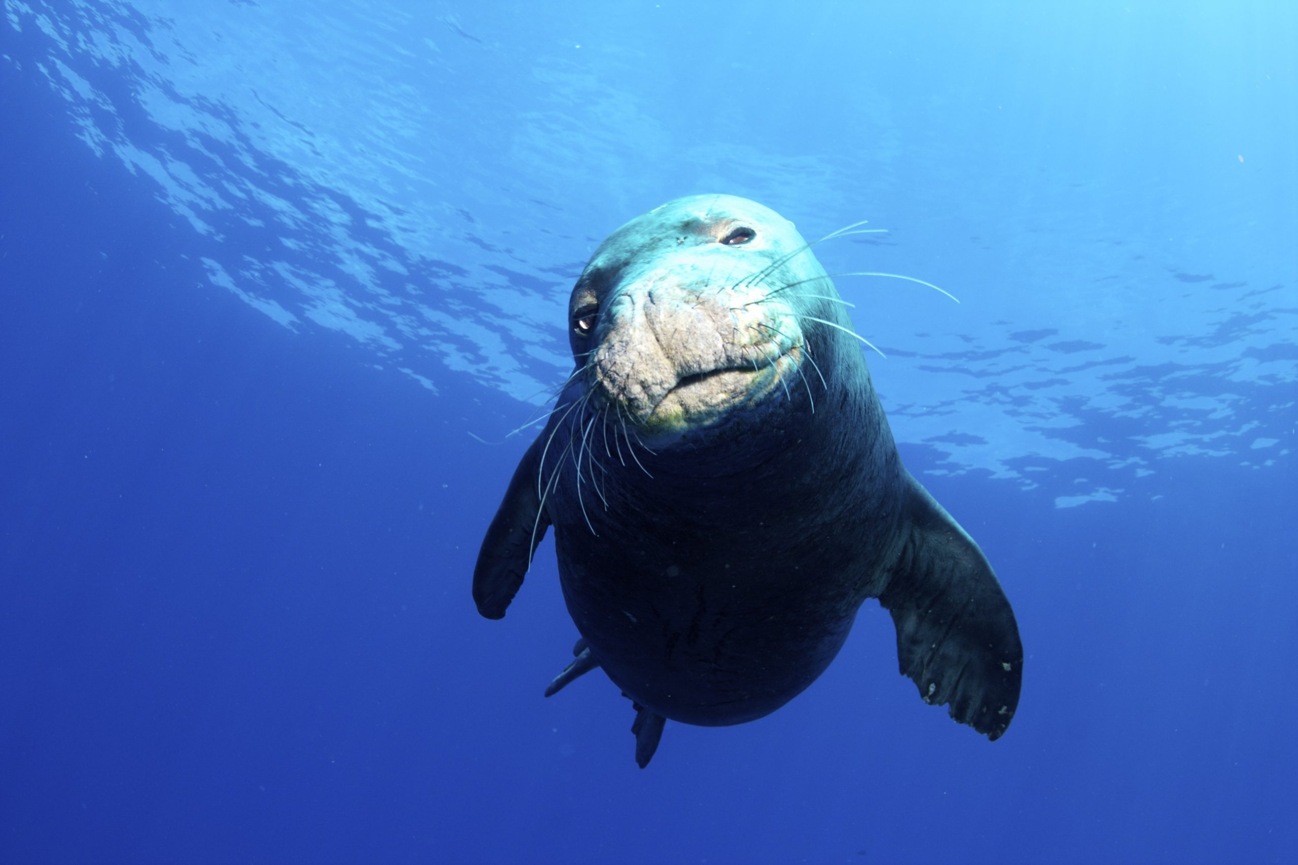 hawaiian monk seal diet