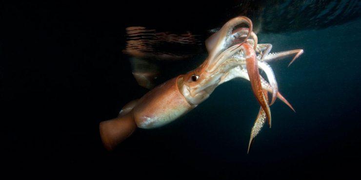 humboldt squid aggression