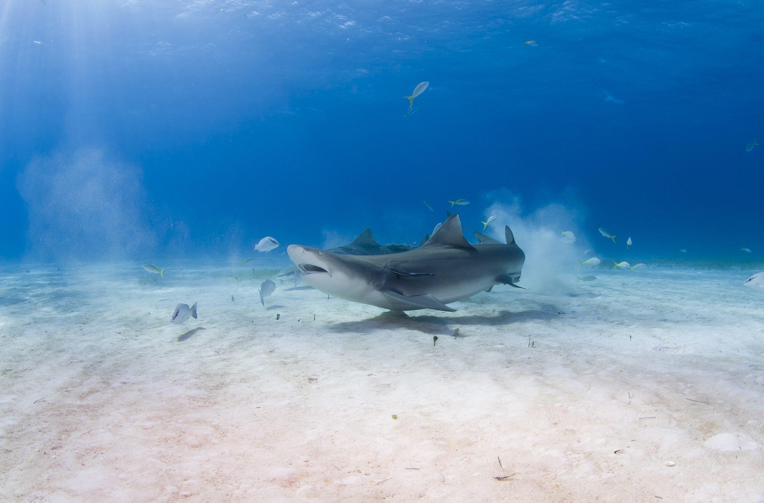 lemon shark in the wild