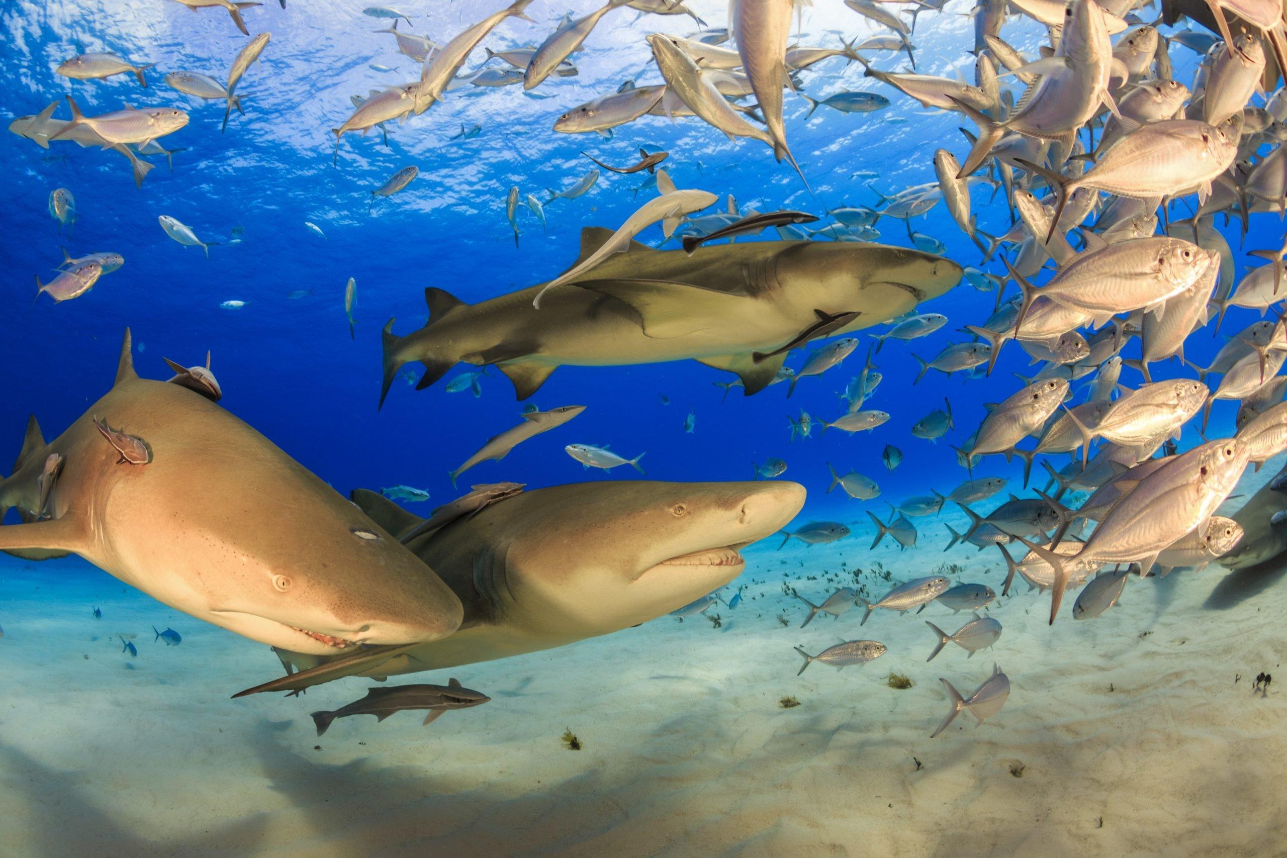 lemon sharks hunting in the wild