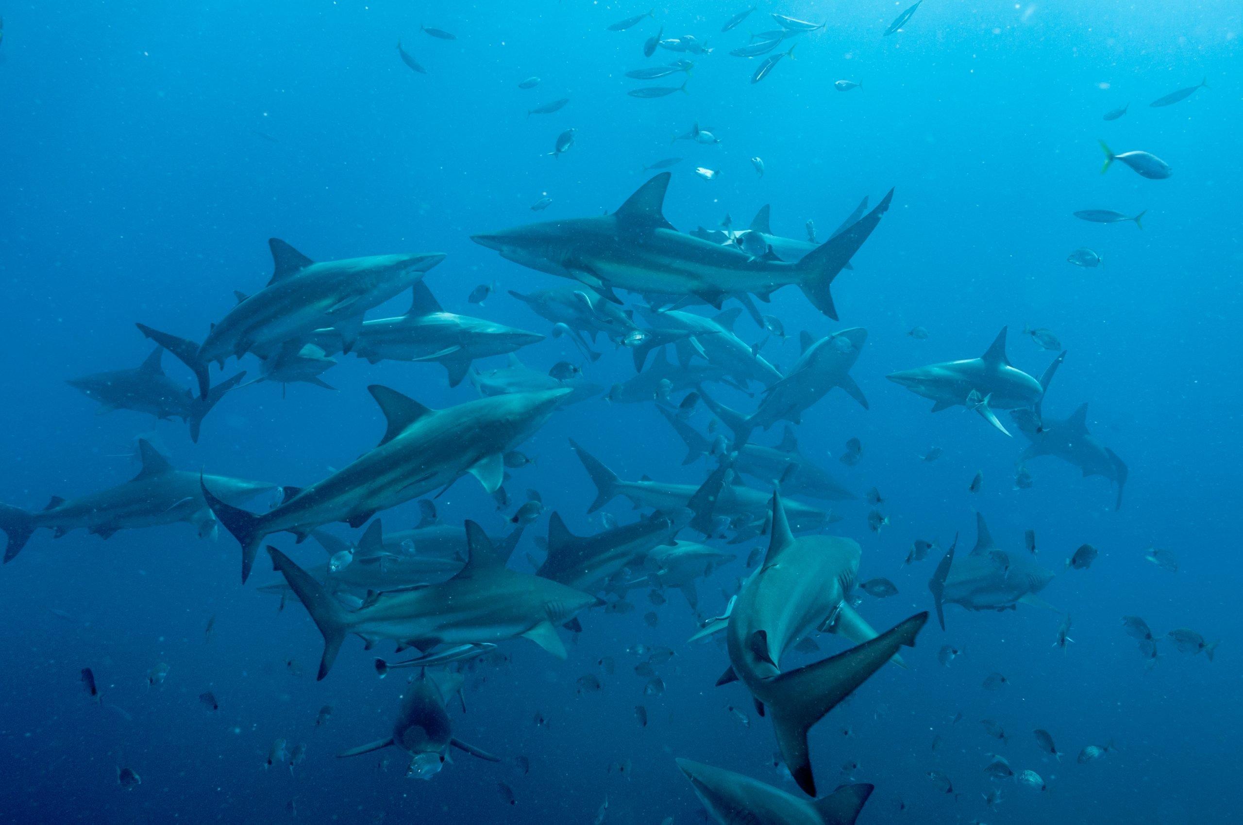 shoal of blacktip sharks