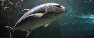 biggest atlantic bluefin tuna
