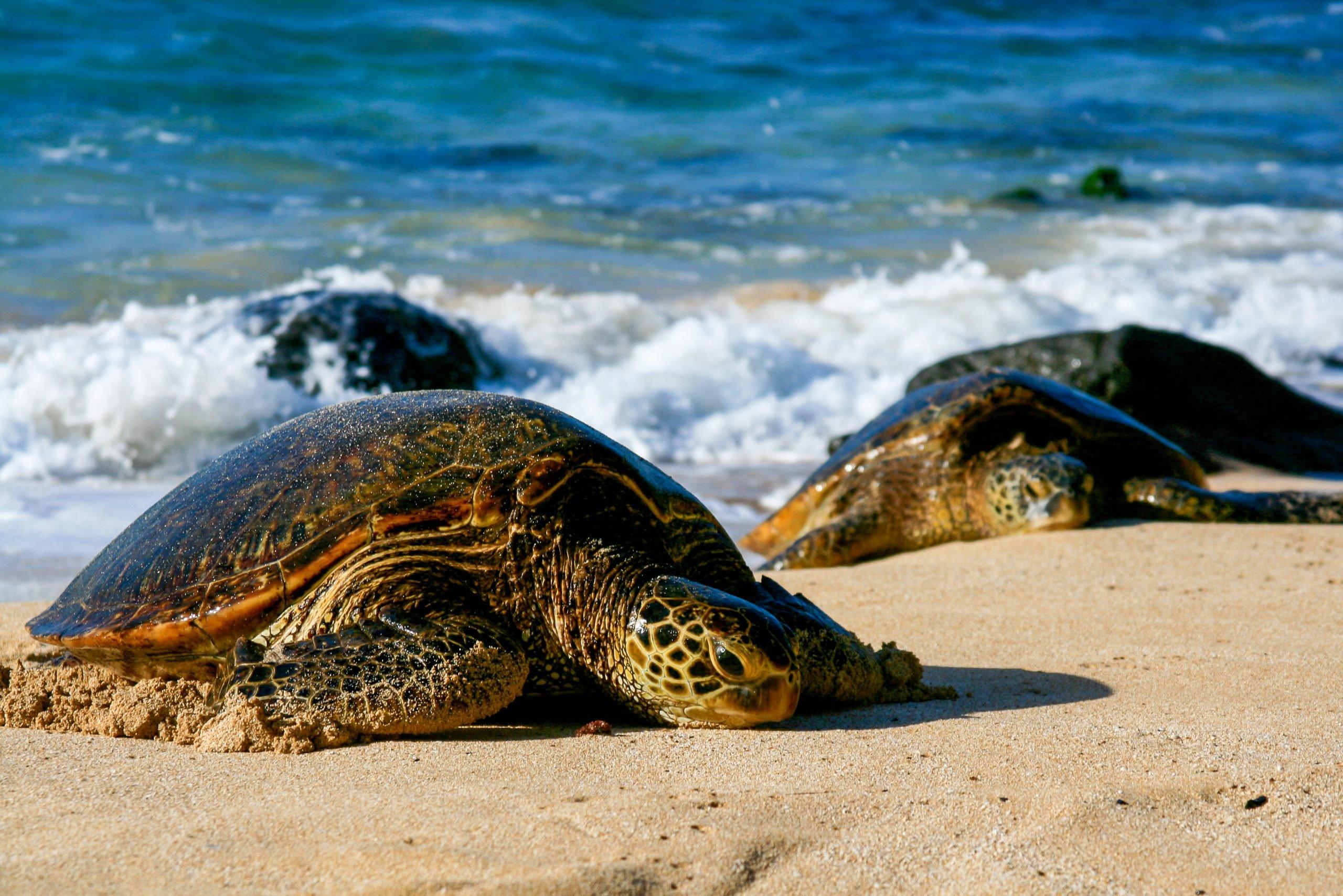 green sea turtle slow on land