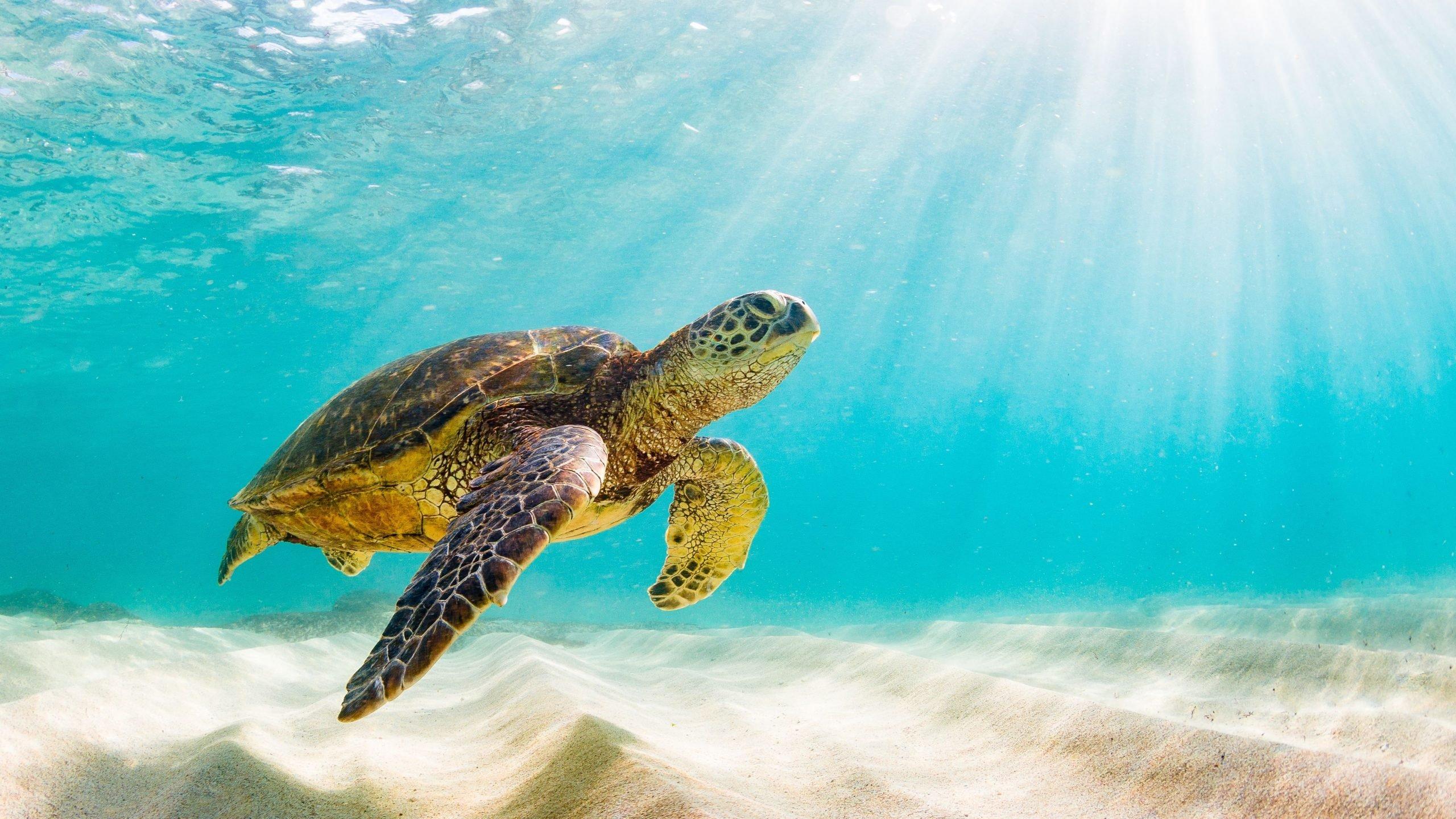 green sea turtle swimming quickly