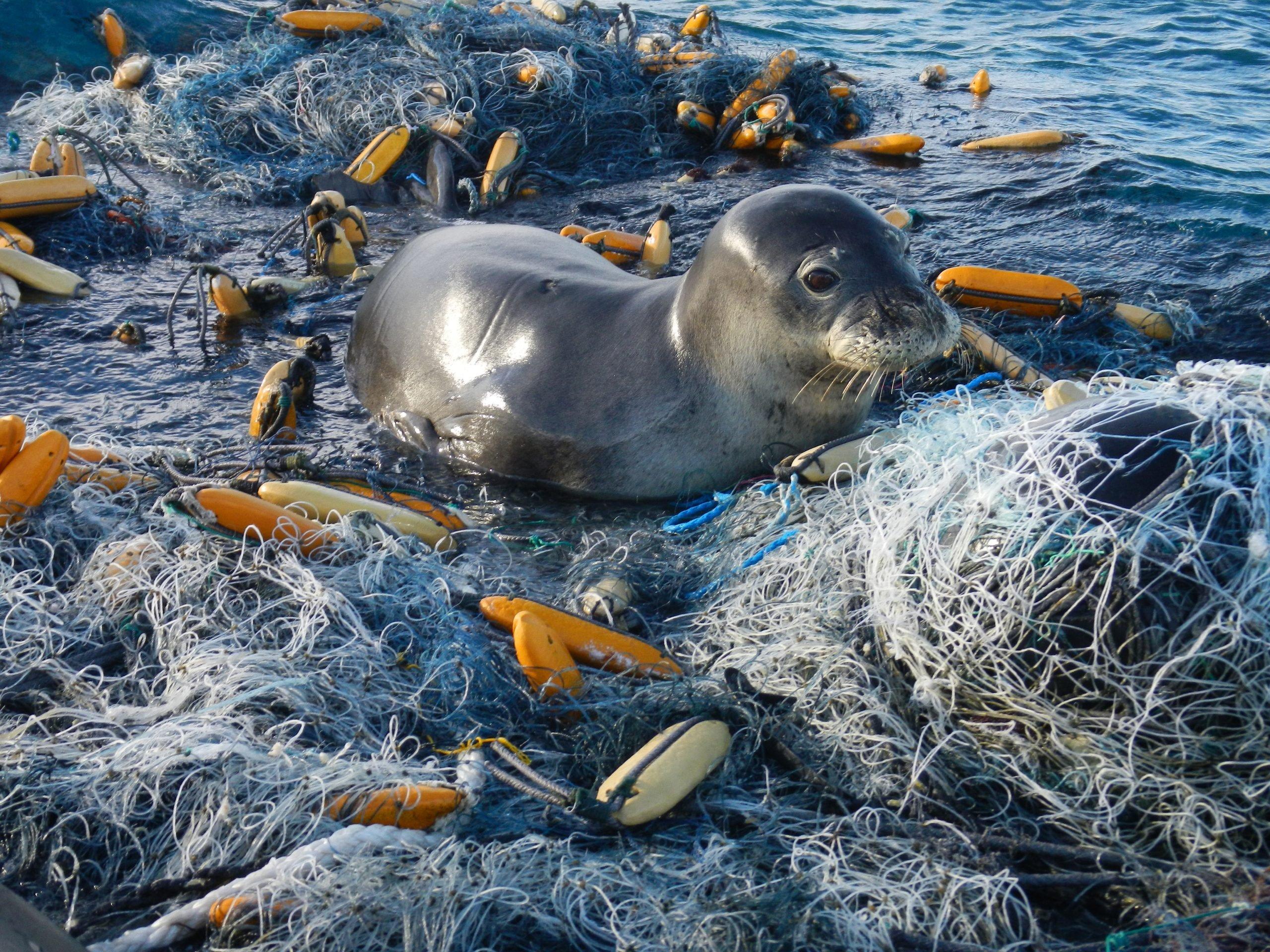 hawaiian monk seal tangled in netting