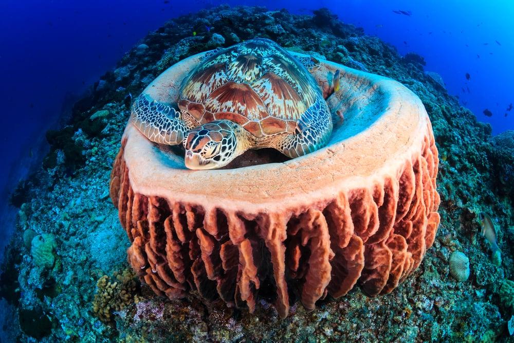 green sea turtle sleep