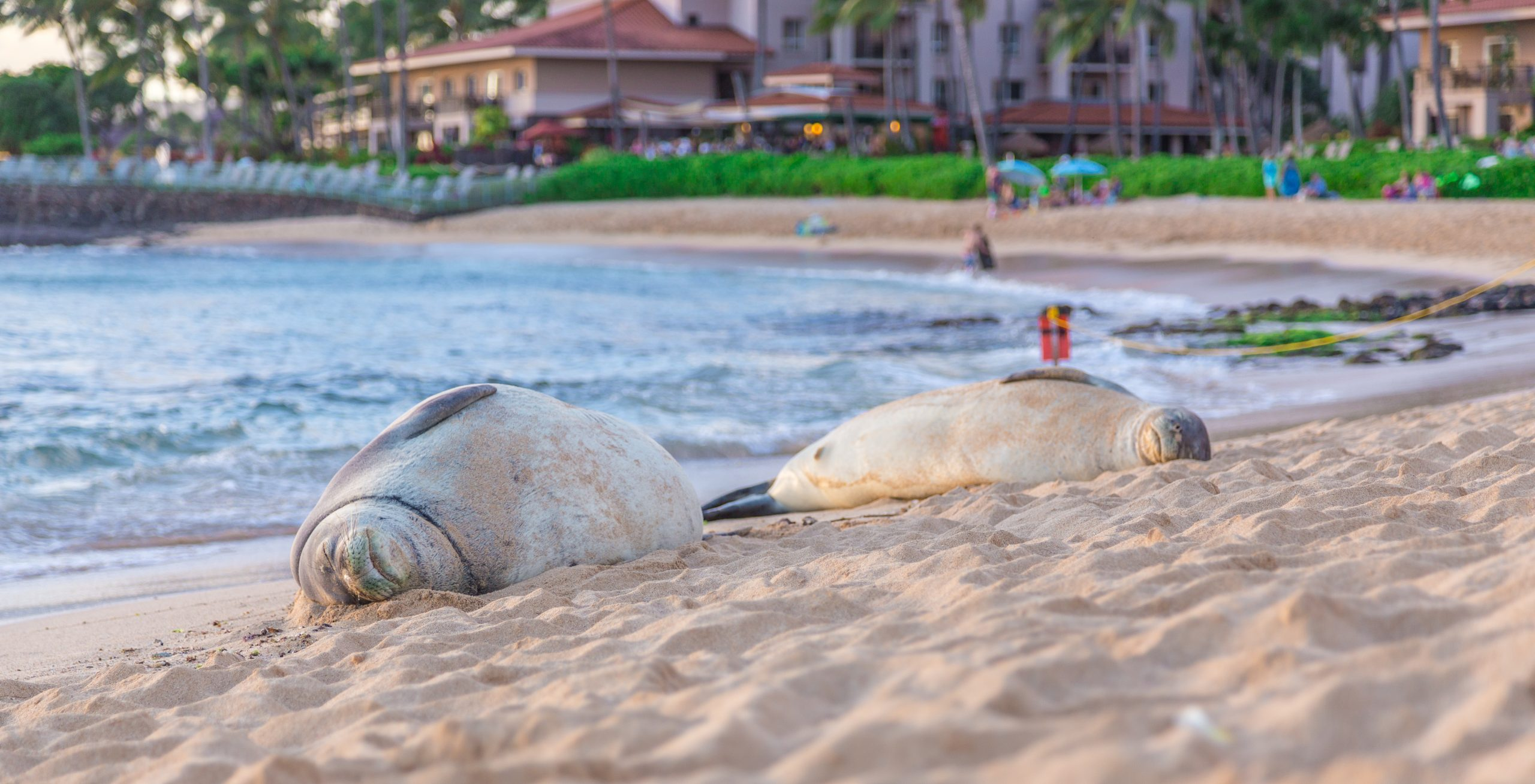 monk seals left in hawaii