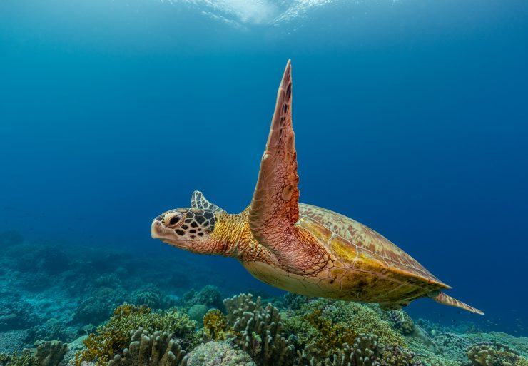 speed of a green sea turtle