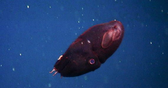 vampire squid name