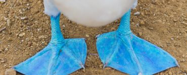 Close up of Blue-footed Booby feet