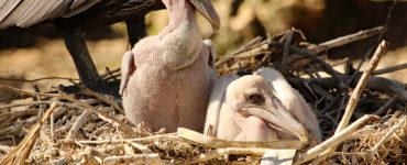 Brown Pelican Chicks in Nest