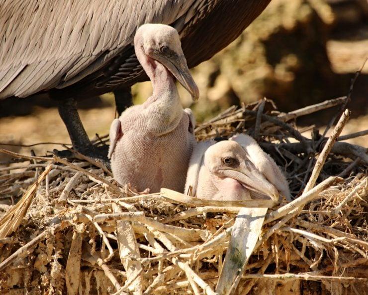 Brown Pelican Chicks in Nest