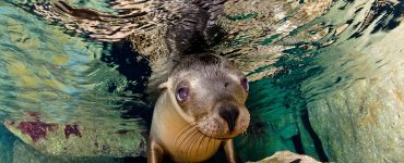 California Sea Lion Swims