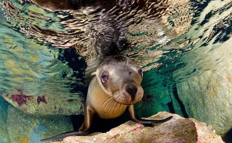 California Sea Lion Swims