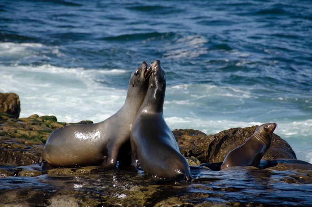 California Sea Lions Fight for Mate