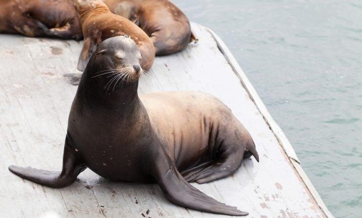 California Sea Lion on Dock