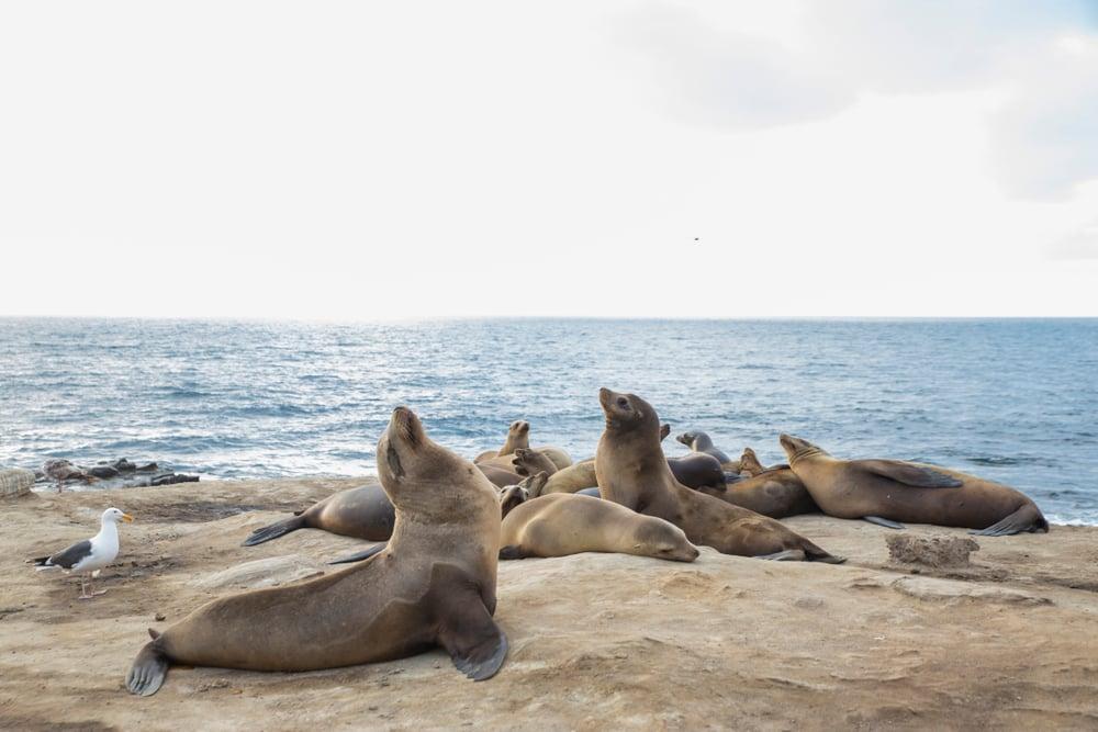 Sea Lions on Beach in La Jolla