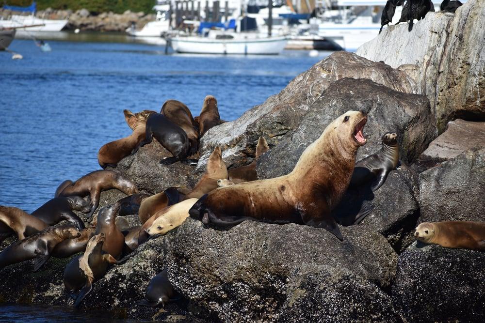 Sea Lions on Rock in Monterey Bay