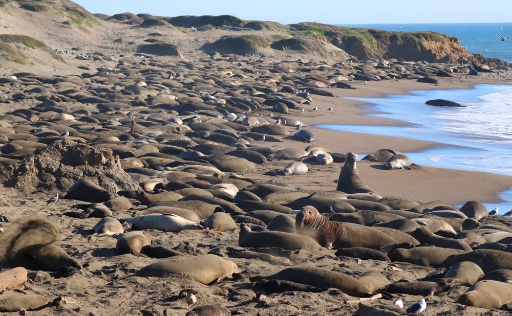 Sea Lions on Beach in San Simeon