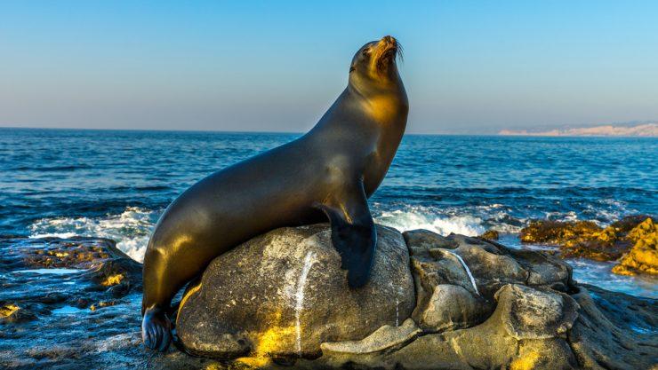 Sea Lion Sun Bathes on Rock