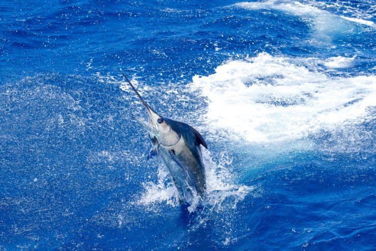 atlantic blue marlin