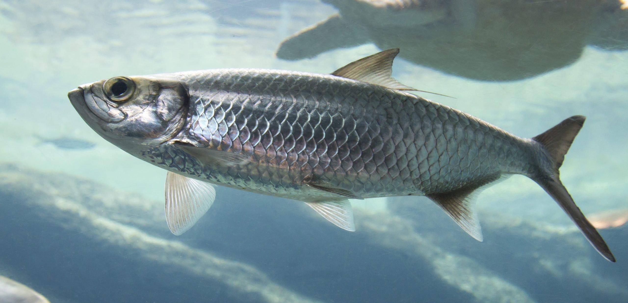 barndoor skates feed on herring