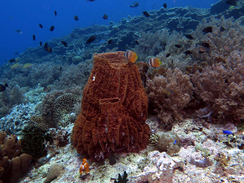 barrel sponge Xestospongia muta